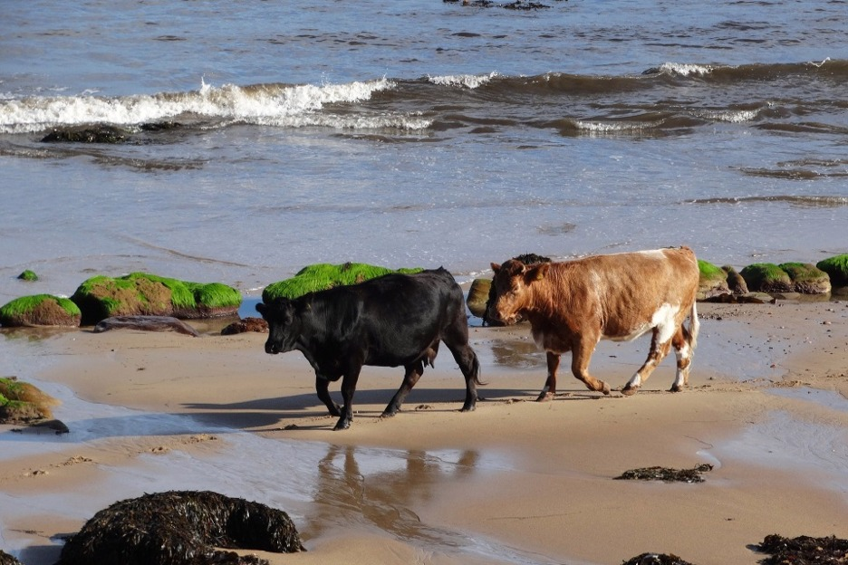 cows on beach, Scotland