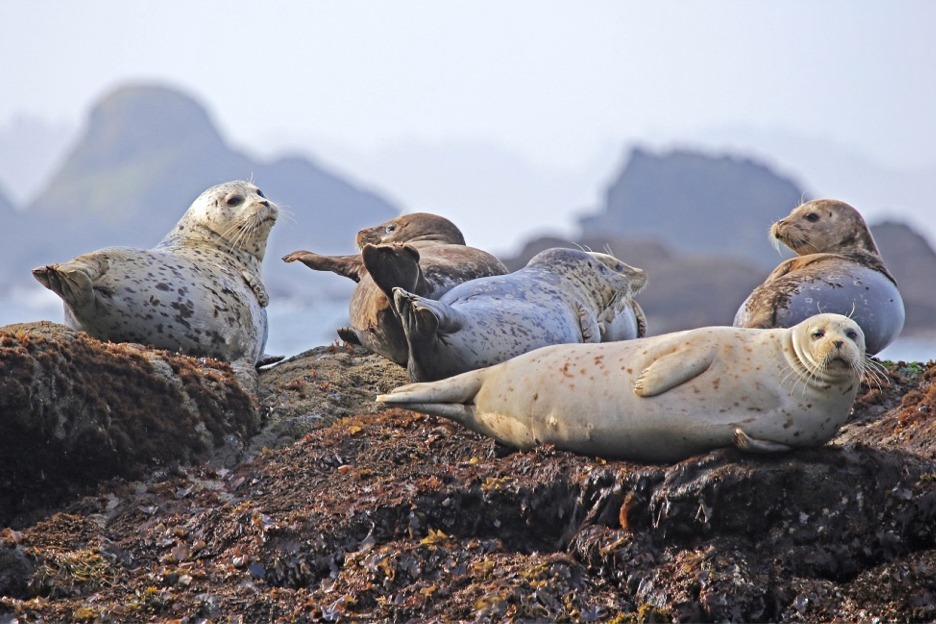 Scotland, seals hauled out