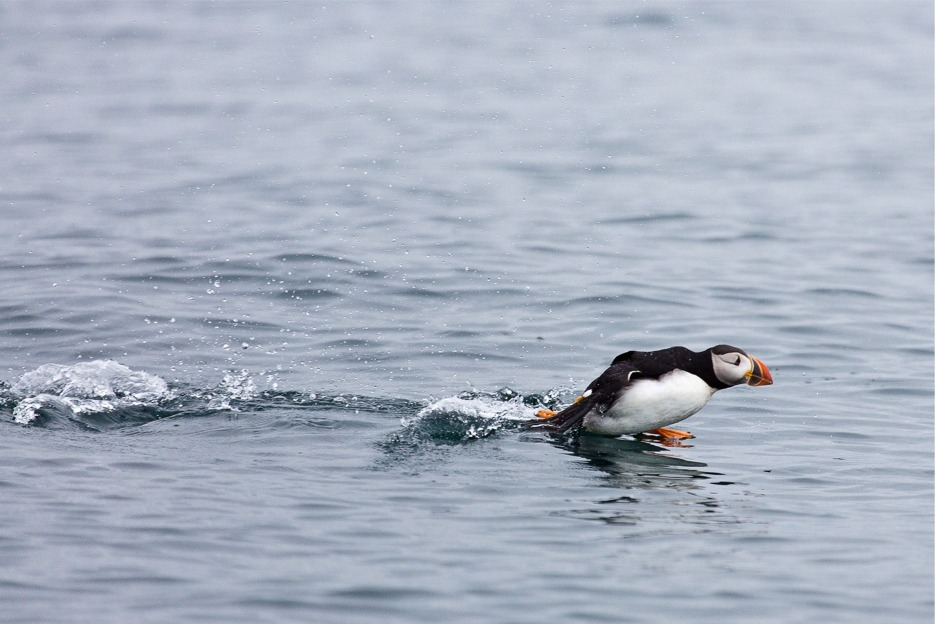 Puffin taking off, Scotland