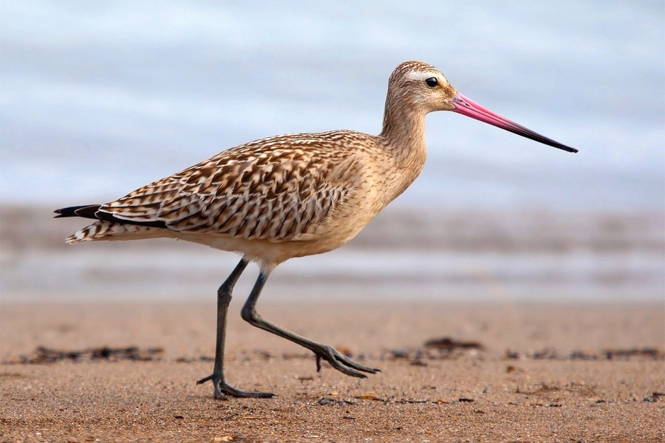 Bar-tailed godwit (Limosa lapponica), Scotland