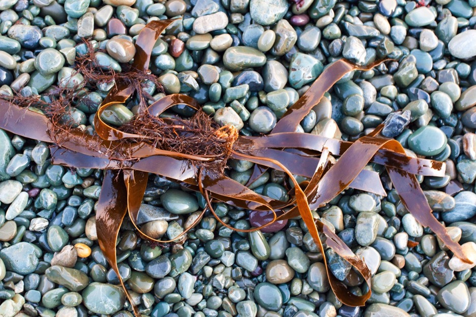 Kelp or oarweed (Laminaria digitata)