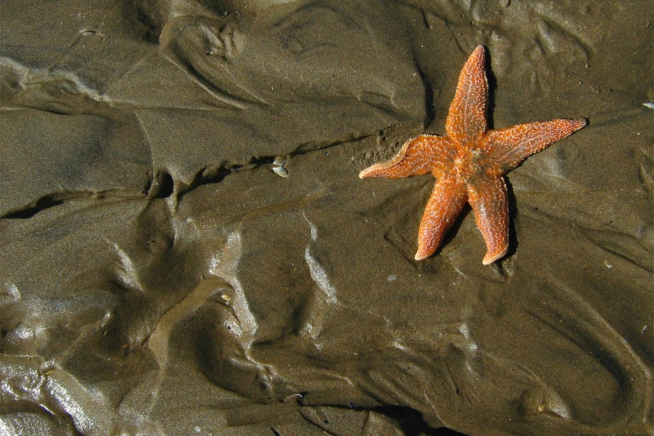 Starfish (Asterias rubens), Scotland