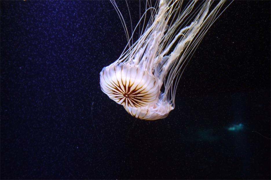 Jellyfish, Scotland