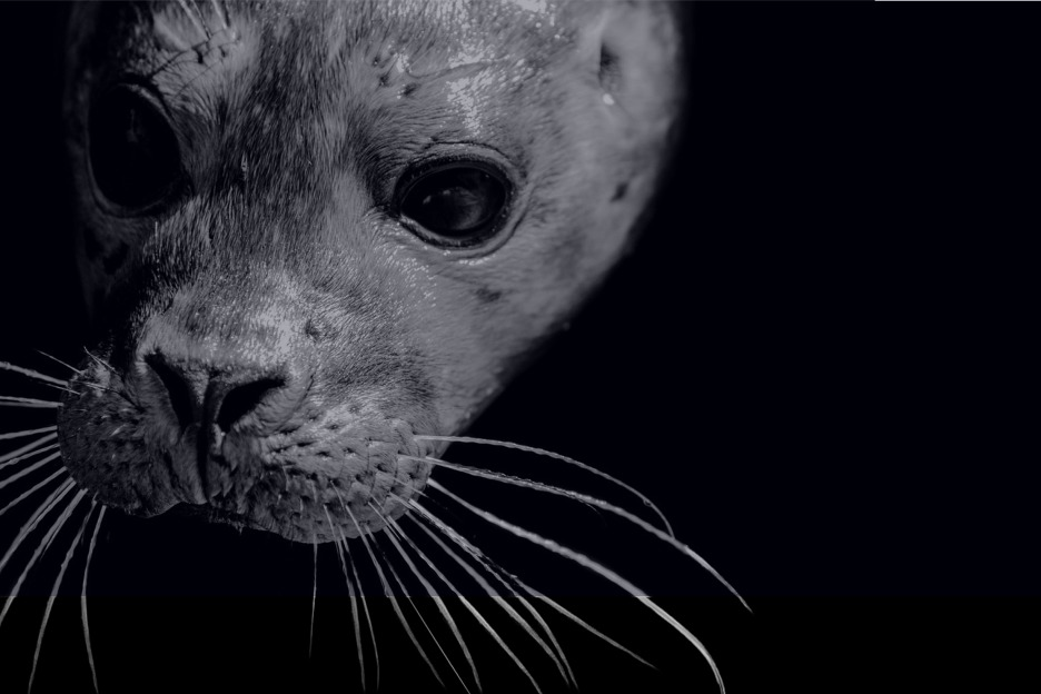 Harbour seal underwater