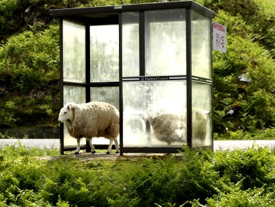 Sheep in bus shelter